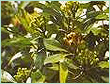 CLOVE LEAF INDONESIA OIL