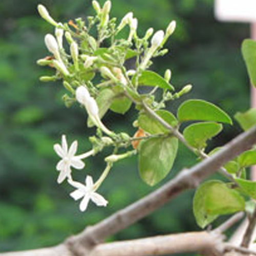 Jasmine Absolute Co2 Essential Oil